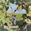 Etna Wine , uva , buon vino – escursione Etna wine con MrExcurions.1